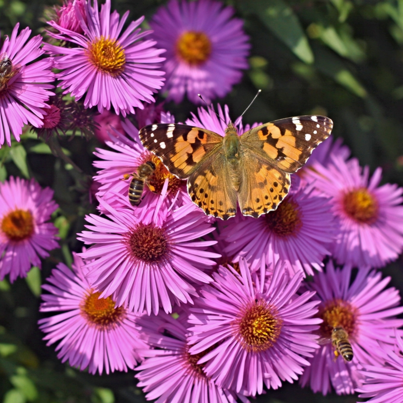 butterfly and bee on purple flowers